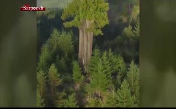 فیلم/ بلندترین درخت دنیا در شمال کالیفرنیا