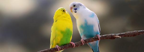 مرغ عشق ماده,مرغ عشق,مرغ عشق عکس