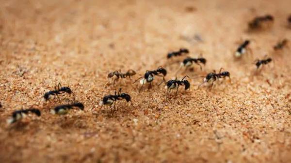 از بین بردن مورچه,از بین بردن مورچه در خانه,برای از بین بردن مورچه