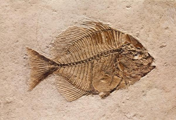 در مورد فسیل و سنگ واره,فسیل,فسیل یا سنگواره چیست