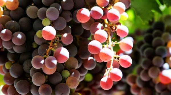 انواع رژِیم انگور,رژیم انگور سه روزه,رژیم انگور و کبد