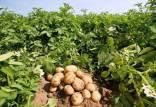 کاشت سیب زمینی,طریقه کاشت سیب زمینی,عمق کاشت سیب زمینی