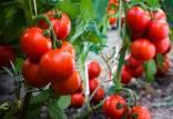 کاشت گوجه فرنگی,روش کاشت گوجه فرنگی,روشهای کاشت گوجه فرنگی