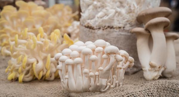 پرورش قارچ,پرورش قارچ دکمه ای,آموزش پرورش قارچ