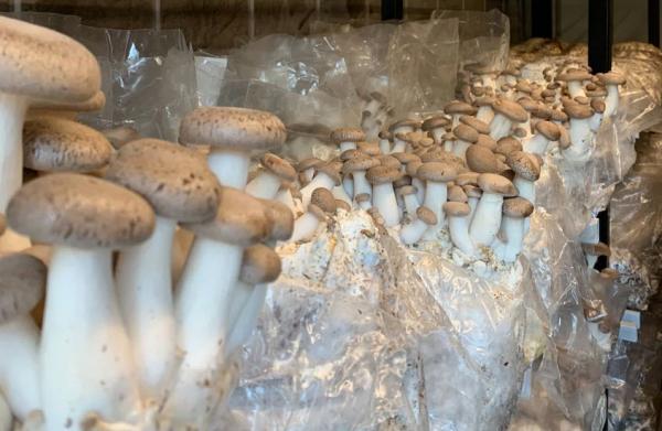 پرورش قارچ,مراحل پرورش قارچ,هزینه پرورش قارچ