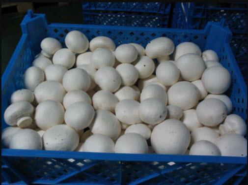 پروش پرورش قارچ در منزل,نحوه پرورش قارچ,پرورش قارچ