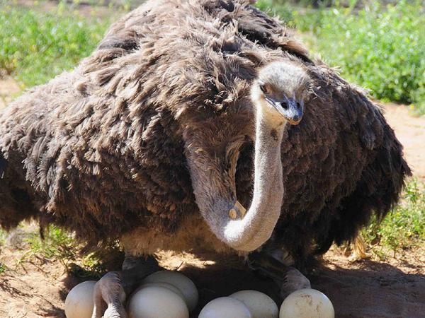 آموزش پرورش شترمرغ,مدت زمان پرورش شترمرغ,نحوه پرورش شتر مرغ