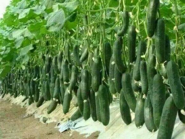 آموزش کاشت خیار در گلخانه,فصل کاشت خیار,نحوه کاشت خیار