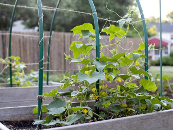 کاشت خیار گلخانه ای,روش کاشت خیار,کاشت خیار در خانه
