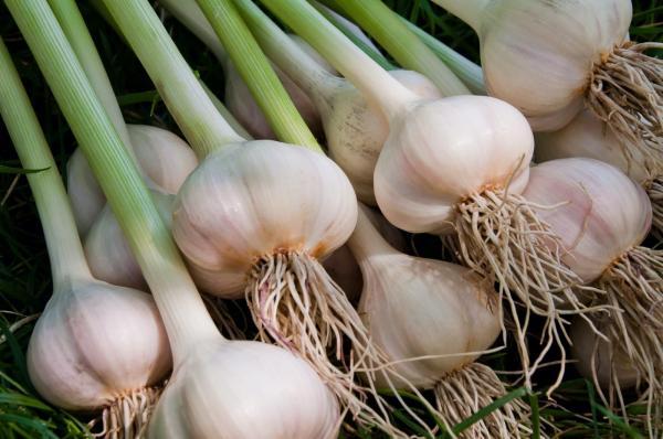 روش کاشت سیر,کاشت سیر در گلدان,زمان برداشت سیر