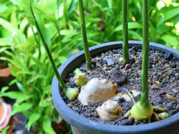 کاشت زنجبیل,دمای قابل تحمل برای کاشت زنجبیل,کاشت زنجبیل در خانه