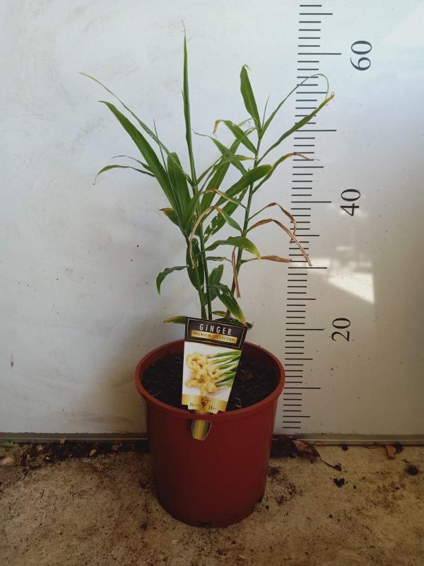 روش کاشت زنجبیل,کاشت زنجبیل,کاشت زنجبیل در فضای باز