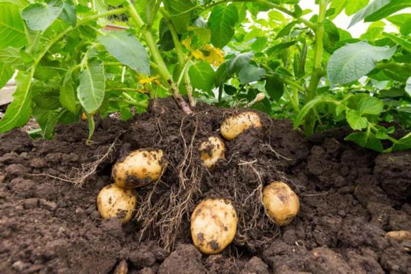 زمان مناسب کاشت سیب زمینی,روش کاشت سیب زمینی,کاشت سیب زمینی