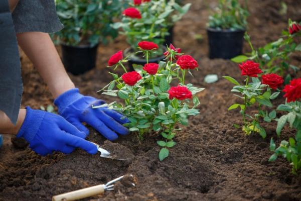 عکس های گل رز,کاشت گل رز,آموزش قلمه زدن گل رز