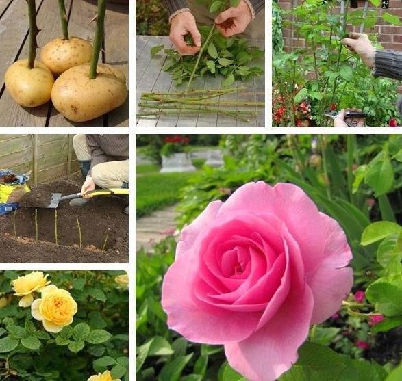 کاشت گل رز,نحوه قلمه زدن گل رز,تصاویر گل رز