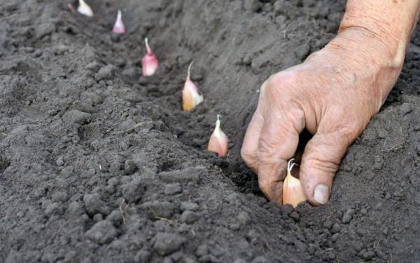 نحوه کاشت زعفران,تاریخچه کاشت زعفران در ایران,کاشت زعفران