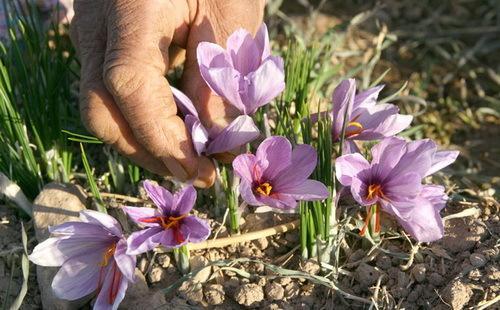 کاشت زعفران,تاریخچه کاشت زعفران در ایران,زمان کاشت زعفران