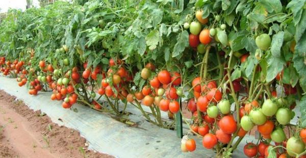 روش کاشت گوجه فرنگی درست کردن نشا,کاشت گوجه فرنگی,طریقه کاشت گوجه فرنگی