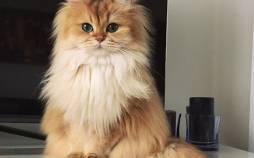 گربه,انواع نژاد گربه,عکس گربه