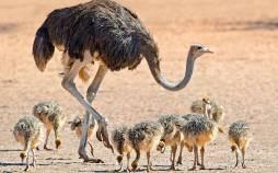 پرورش شترمرغ,پرورش شتر مرغ,آموزش پرورش شترمرغ