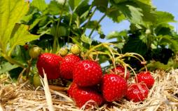 کاشت توت فرنگی,کاشت توت فرنگی در خانه,مراحل کاشت توت فرنگی