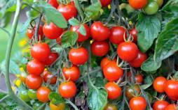 کاشت گوجه فرنگی,کاشت گوجه فرنگی در گلخانه,روشهای کاشت گوجه فرنگی