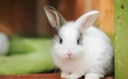 خرگوش,خرگوش آنقوره,نگهداری خرگوش در خانه
